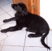 hovawart-junghund