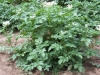 kartoffelpflanze