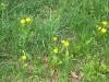 loewenzahn-futterpflanze