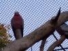 rosa-kakadus