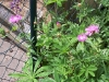 rosa-kornblumen