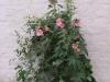 rosa-stockrosen
