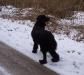schwarzer-hovawart-im-schnee