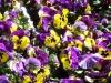 stiefmuetterchen-pflanzen