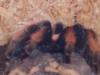 vogelspinne-im-terrarium